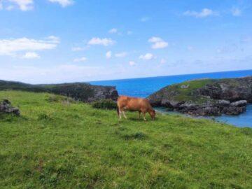 Vacas Asturias